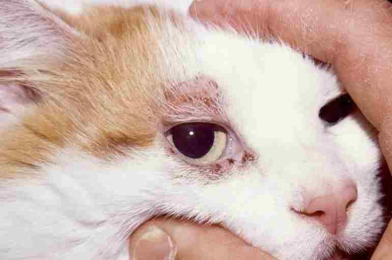 Признаки демодекоза у кошек